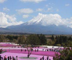 富士山麓に咲く芝桜と富士山
