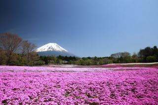富士山をバックにピンクの芝桜