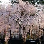 角館の桜まつり2017!開花予想と見頃は?場所・時間・出店あるの?