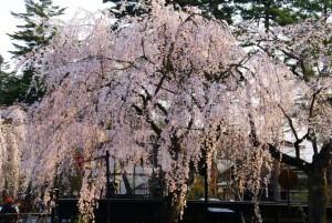 角館・武家屋敷の桜