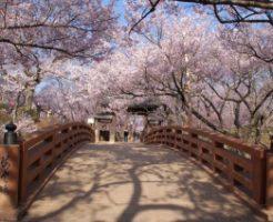 高遠城址公園・桜雲橋から見る桜