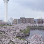 五稜郭公園の桜開花と見頃予想2015/お花見の色々な楽しみ方は?