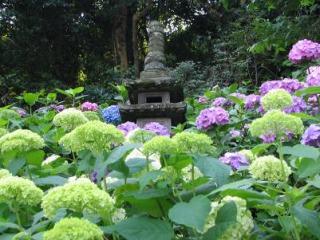 長谷寺のあじさいを下から見上げる