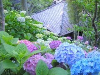 長谷寺の経蔵周辺に咲くあじさい