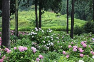 三室戸寺境内に咲くあじさい