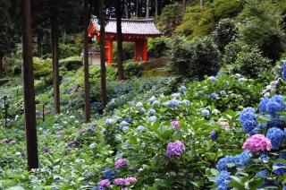 三室戸寺境内、杉と杉の間に咲くあじさい