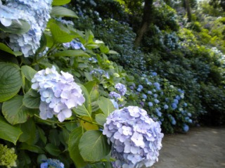 下田公園に咲くあじさい