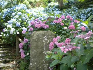 下田公園の山中に咲くあじさい