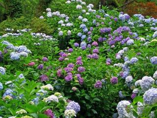 矢田寺境内に咲くあじさい