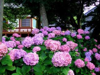矢田寺に咲く赤紫色のあじさい