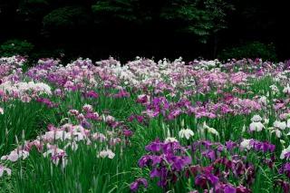 本土寺の菖蒲園に咲く花菖蒲
