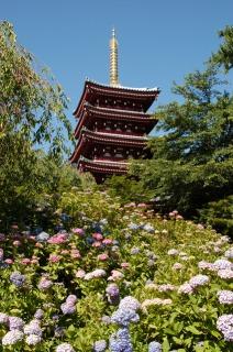 本土寺五重塔前の広場に咲くあじさい