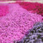 市貝町の芝桜まつり2018!開花状況とアクセス・駐車場は?