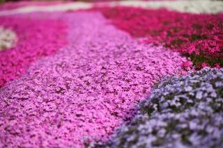市貝町芝ざくら公園に咲く芝桜