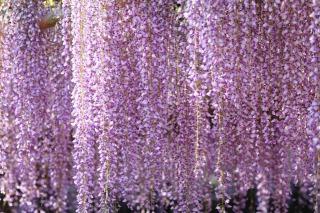江南市曼陀羅寺公園に咲く藤
