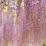 津島天王川公園藤まつり2018!開花状況や見頃、アクセスは?