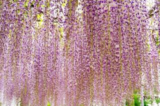 津島市天王川公園に咲く藤