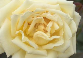 黄色に咲くバラ