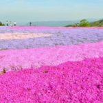 茶臼山の芝桜2018!見頃時期や開花状況?アクセスと渋滞情報も