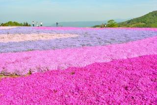 茶臼山高原に広がる芝桜