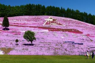 東藻琴芝桜公園の芝桜を下から見上げる