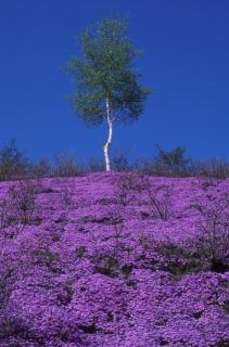東藻琴芝桜公園の斜面に咲く芝桜