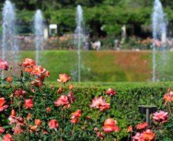 神代植物公園の噴水前に咲くバラ