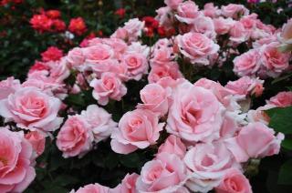 鎌倉文学館に咲くバラ