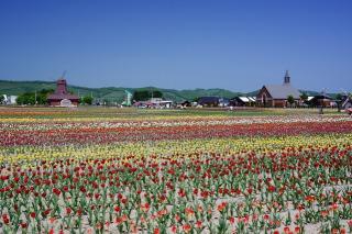 上湧別チューリップ公園に咲くチューリップ
