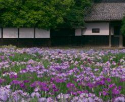 加茂花菖蒲園、白壁の長屋門の前に咲き乱れる花菖蒲