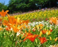 可睡ゆりの園に咲き誇るゆり