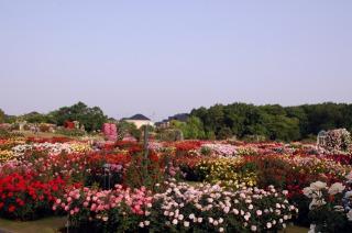 京成バラ園に咲くバラたち