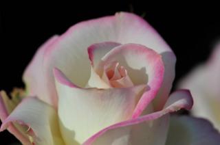 バラの珍種