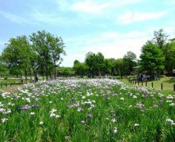 水元公園に咲き誇る花菖蒲
