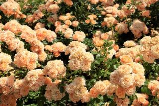 オレンジ色に咲くバラ