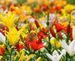 篠山玉水ゆり園に咲く赤白黄色のゆり