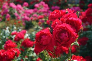 谷津バラ園に咲く赤いバラ