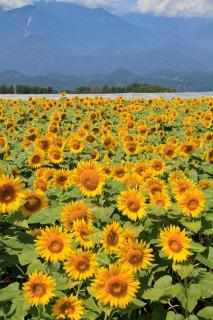 北杜市明野サンフラワーフェス会場に咲くひまわり