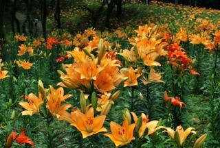 びわこ箱館山ゆり園に咲き揃ったゆり