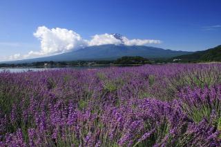 富士山と10万本のラベンダー