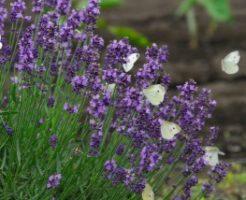 たんばらラベンダーパークに咲き揃うラベンダー達