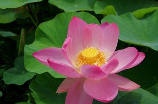 万博記念公園の蓮の花