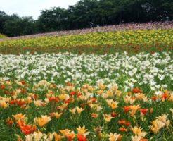 ダイナランドゆり園に咲き誇るゆり達