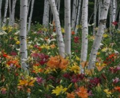 富士見高原花の里(旧ゆりの里)に咲くゆり