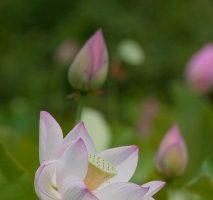 古代蓮の里に咲き始めたハスの花