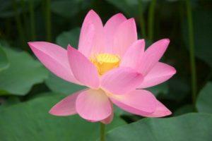 古代蓮の実から発芽開花した有名な大賀蓮