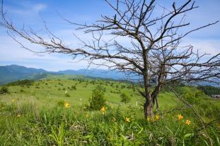 車山高原に咲き揃ったニッコウキスゲ