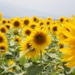 成田ゆめ牧場ひまわり迷路2017!開花状況、料金や割引券?