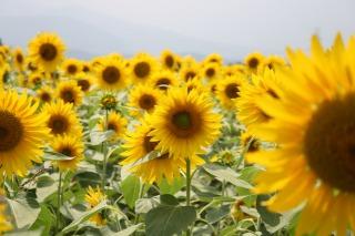成田ゆめ牧場に咲き揃うひまわり