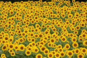 大垣ひまわり畑に咲き揃うひまわり達